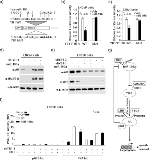 MiR-190a-mediated suppression of AR expression and transactivation requires miR-190a binding to the 3′-UTR of YB-1 gene.(a) YB-1 is a potential target of miR-190a. The miR-190a targeting sites in 3′UTRs of human YB-1 are shown. (b,c) Luciferase/Renila activity level of 3′ UTR luciferase reporters of YB-1 in LNCaP and 22Rv1 cells at 48 hours after transfection. (d) LNCaP cells with stable overexpression of miR-190a and YB-1 knockdown. YB-1 and AR protein levels were determined by Western blot. (e) LNCaP cells with stable overexpression of miR-190a and YB-1. YB-1 and AR protein levels determined by Western blot. (f) LNCaP cells transiently transfected with miR-190a and/or YB-1 while treated with 10 nm DHT. PSA-Luc was assessed for AR activity. (g) Schematic representation of the AR/miR-190a/YB-1 negative feedback loop.