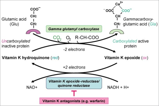In the vitamin K cycle, vitamin K-dependent gamma-carboxyglutamic acid (Gla) proteins are carboxylated and activated.