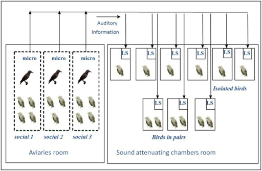 Experimental set-up: In the aviary room, young birds housed in the three different aviaries could hear and see each other. In the soundproof chambers, birds were housed individually or in pairs. All the experimental birds received the same auditory exposure. Birds in the soundproof chambers could hear all the songs from the birds in the aviaries via microphones and loudspeakers. (M, wild males; m, experimental males; f, experimental females; LS, loudspeaker; micro, microphone; →, direction of auditory information transfer (from Poirier et al., 2004).