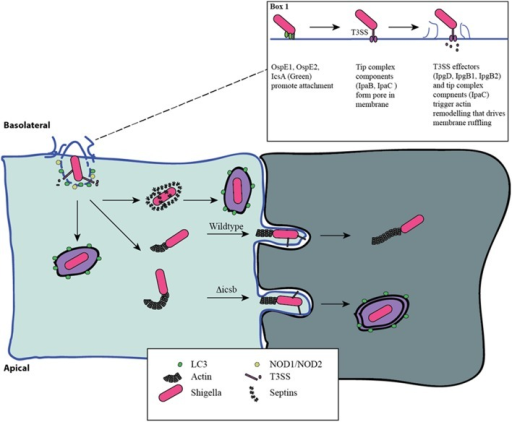 Distinct phases of invasion and autophagy targeting during Shigella infection. Shigella adheres to the basolateral surface of epithelial cells, forms a pore in the eukaryotic membrane, and delivers effector proteins to induce its uptake (Box 1). The first wave of autophagy targeting follows initial invasion and is mediated by recruitment of the autophagy machinery to the site of entry. The intracellular PRRs, NOD1 and NOD2, play a critical role through the recruitment of ATG16L1. Following escape from the entry vacuole, Shigella drive actin polymerization at one pole through IcsA-dependent recruitment of N-WASP and ARP2/3. This allows for intracellular motility. This process is countered by the host's attempt to trap bacteria in septin-derived cages that enables autophagy targeting. Once motile and free in the cytosol the host is unable to target Shigella to autophagy. Actin-based motility allows Shigella to spread from cell-cell, and it efficiently escapes into the second cell using a reactivated T3SS. This secondary invasion event allows for additional autophagy targeting. IcsB mutants that are less efficient at escape are more readily targeted by autophagy at this step.