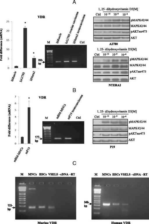 Human and murine germline-derived immortalized cell lines and FACS-sorted very small embryonic-like stem cells (VSELs) and hematopoietic stem cells (HSCs) express functional vitamin D receptors (VDRs). Expression of VDRs was detected in purified mRNA samples from human teratocarcinoma (hNTERA2) and ovarian cancer (hA2780) cell lines (Panel a, left) as well as from the murine embryonal teratocarcinoma (mP19) cell line (Panel b, left) by both real-time and conventional reverse transcription polymerase chain reaction (RT-PCR). The effect of 1,25-dihydroxyvitamin D3 on phosphorylation of p42/44 MAPK and AKTser473 intracellular pathway proteins in hNTERA2 and hA2780 cell lines (Panel a, right) and the mP19 cell line (Panel b, right) was investigated. Cells (2 × 106 cells/mL) were starved for 12 h in their respective basic culture media containing 0.5 % BSA and stimulated afterwards for 5 min with 1,25-dihydroxyvitamin D3 at various concentrations (10−10–10−8 M) or with vehicle (DMSO) only. The experiment was carried out twice with similar results, and representative blots are shown. Panel c The VDR is expressed by sorted VSELs and HSCs. RT-PCR showed expression of the VDR by both murine BM-derived (left panel) and human UCB-derived (right panel) VSELs, HSCs, and MNCs. In all experiments, samples with water only instead of cDNA (−cDNA) and without reverse transcriptase (−RT) were used as negative controls. Representative agarose gels of the RT-PCR amplicons obtained are shown. Each experiment was carried out twice with similar results, and representative blots are shown