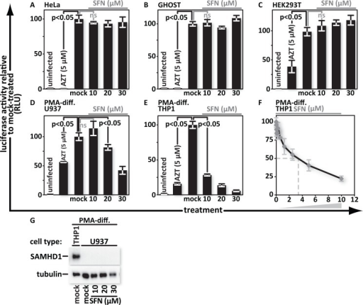 SFN blocks HIV infection in monocytoid cell lines but does not increase SAMHD1 expression.(A), HeLa, (B), GHOST, (C), HEK293T, (D), PMA-differentiated U937, and (E), PMA-differentiated THP1, cells were treated with media supplemented with vehicle only (DMSO) or with 10 μM, 20 μM or 30 μM SFN. Pretreatment of cell cultures with 5 μM AZT served as a positive control for viral inhibition. Twenty-four hours after treatment, the samples were infected with VSV-G pseudotyped HIV-1 encoding firefly luciferase in place of nef. Twenty-four hours after infection, the cultures were harvested and luciferase activity was measured by photon emission. (F), PMA-differentiated THP1 cells were treated with SFN that underwent a twofold serial dilution with 10μM of SFN being the highest concentration. Twenty-four hours after treatment, the samples were either mock infected or infected with VSV-G pseudotyped HIV-1 encoding firefly luciferase in place of nef. Twenty-four hours after infection, luciferase activity was measured. The bar graphs represent the data for replicate experiments (n = 3). (G), SAMHD1 protein was detected by western blot analysis from lysates of mock- and SFN treated PMA-differentiated U937 cells. Lysates from mock-treated, PMA-differentiated THP1 cells served as a positive control for SAMHD1 production.