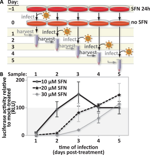 The SFN-mediated HIV infection block is reversible.(A), Study design: PMA-differentiated THP1 cells were pretreated with media supplemented with vehicle only (DMSO) or with 10 μM, 20 μM or 30 μM SFN. After twenty-four hours of treatment, the culture media was replaced with fresh SFN-free media. Cultures were infected 1, 2, 3, 4, or 5 days after treatment with freshly thawed aliquots of VSV-G pseudotyped HIV-1 encoding firefly luciferase in place of nef. Twenty-four hours after the start of each time-point infection, the cells were harvested and (B), luciferase activity was measured by photon emission. The bar graph represents the data for replicate experiments (n = 3).