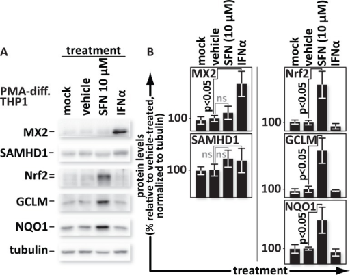 SFN does not trigger expression of interferon-stimulated anti-viral factors SAMHD1 or MX2.PMA-differentiated THP1 cells were mock-treated or treated with media supplemented with vehicle only (DMSO) or with 10 μM SFN or with 500 U/mL of IFNα. (A), Proteins from whole cell lysates were resolved by SDS-PAGE and identified by western blotting using antibodies with the indicated specificities. (B), Densitometric analysis was performed on the Nrf2, SAMHD1, MX2, NQO1 and GCLM (NQO1 and GCLM are both indicators of Nrf2 function) bands and normalized to the values of the corresponding tubulin bands. The relative normalized intensities of the bands were then graphed.
