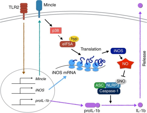 Model explaining Mincle-mediated translational regulation for nitric oxide production and inflammation resolution.In this model, Mincle is essential not only for transcription of proinflammatory genes, but also for translation of the key NO synthesis genes. Mincle promotes strong NO release by enhancing iNOS translation via a mechanism dependent on p38-mediated hypusination of eIF5A, inhibiting NLRP3 inflammasome and caspase-1-dependent IL-1β production. ASC, Apoptosis-associated speck-like protein containing a caspase recruitment domain; Hyp, hypusination; SNO, S-nitrosylation.