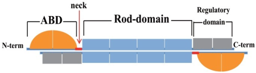 A schematic model of α-actinin molecule. N-terminal containing actin-binding domain (ABD) is connected to rod-domain through a short flexible segment (neck). Dimers are formed by lateral interaction between rod-domains.