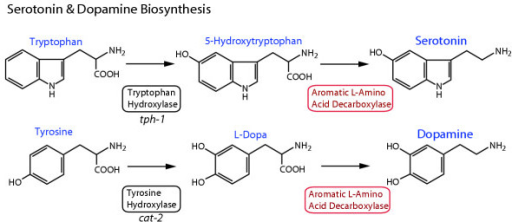 Serotonin and dopamine biosynthetic pathways. Serotonin and dopamine are synthesized from the aromatic amino acids tryptophan and tyrosine, respectively. The first and rate-limiting step in synthesis is carried out by a neurotransmitter-specific aromatic amino acid hydroxylase enzyme, either tryptophan or tyrosine hydroxylase. In C. elegans, these genes are encoded by the tph-1 and cat-2 genes, respectively [19, 25]. The second synthetic step for both neurotransmitters shares the aromatic L-amino acid decarboxylase (AADC) enzyme, which has a relatively broad substrate specificity, and is also known as 5-hydroxytryptophan decarboxylase or dopa decarboxylase.
