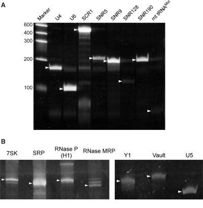 Automated parallel isolation of several ncRNAs from yeast and mouse. (A) Polyacrylamide gel electrophoresis of U4 and U6 snRNAs, SCR1 (SRP RNA), 4 snoRNAs (SNR5, SNR9, SNR128 and SNR190) and mitochondrial tRNAMet, which were isolated by RCC. The gel is stained with SYBR Green II (Invitrogen). Target RNAs are indicated by arrow heads. (B) Isolated mouse ncRNAs: 7SK RNA, SRP RNA, RNaseP RNA, RNaseMRP RNA, Y1 RNA, Vault RNA and U5 snRNA. Target RNAs are indicated by arrow heads.