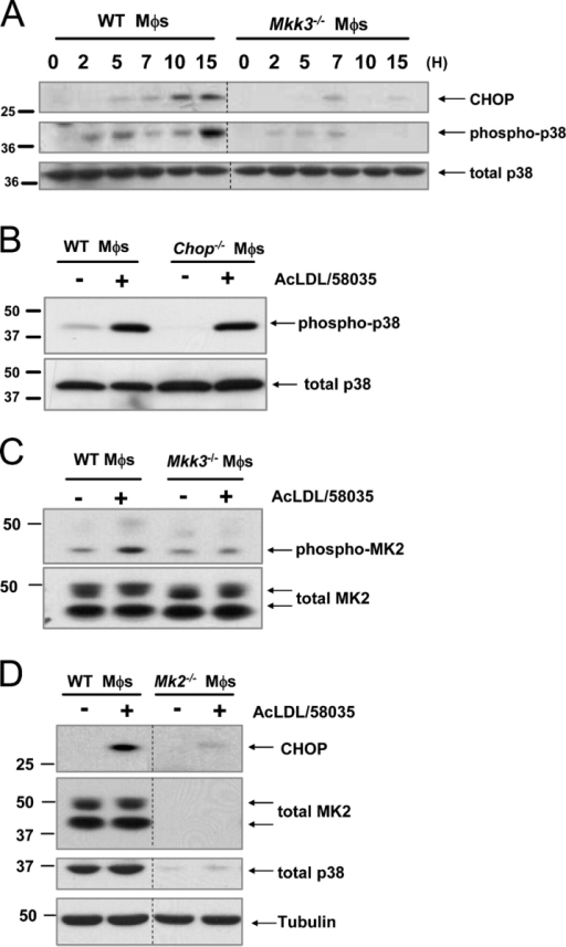 "Activation of Mkk3/p38 MAPK is necessary for CHOP induction in FC-loaded macrophages. (A) WT and Mkk3−/− macrophages (Mφs) were FC-loaded for 0, 2, 5, 7, 10, and 15 h using 100 μg/ml ac-LDL plus the ACAT inhibitor 58035. Whole cell lysates were prepared as described under ""Materials and methods"" and immunoblotted for CHOP (top panel), activated phospho-Thr180/Tyr182 p38 MAPK (phospho-p38, middle panel), and total p38 (bottom panel). Lines indicate areas of the same gel that were spliced together. (B) WT and Chop−/− macrophages were left untreated (−) or were FC-loaded (+) for 5 h, and lysates were immunoblotted for phospho-p38 and total p38. (C) WT and Mkk3−/− macrophages were left untreated (−) or were FC-loaded for 7 h (+). In some experiments, WT cells were treated with ac-LDL alone, which showed only minimal MK2 phosphorylation (not depicted). Whole cell lysates were immunoblotted for activated phospho-Thr334 MK2 (phospho-MK2, top panel) and total MK2 (bottom panel). (D) WT and Mk2−/− macrophages were left untreated (−) or were FC-loaded for 7 h (+). Whole cell lysates were immunoblotted for CHOP (top panel), total MK2 (second panel), total p38 (third panel), or tubulin as a loading control (bottom panel). Lines indicate areas of the same gel that were spliced together."