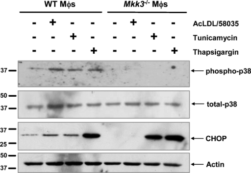 MKK3-dependent CHOP induction in macrophages is unique to FC loading. WT and Mkk3−/− macrophages were left untreated, FC loaded using ac-LDL plus 58035, or treated with 2.5 μg/ml tunicamycin or 2 μM thapsigargin for 7 h. Whole cell lysates were immunoblotted for phospho-p38 (top panel), total p38 (second panel), CHOP (third panel), and actin (bottom panel).