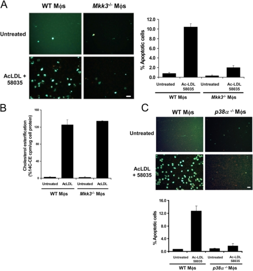 The MKK3/p38 MAPK pathway is necessary for FC-induced macrophage apoptosis. WT, Mkk3−/− (A), and p38α-deficient (C) macrophages were left untreated or were FC loaded (ac-LDL plus 58035) for 16–18 h. The cells were stained with Alexa 488 Annexin V (green) and propidium iodide (red). Representative fluorescent images and quantitative apoptosis data from four fields of cells for each condition are shown. The data are expressed as the percent of total cells that stained with Annexin V and propidium iodide. Data are expressed as mean ± SEM (n = 4). Bar, 25 μm. (B) Esterification of [14C] oleate in WT or Mkk3−/− macrophages incubated 5 h with medium containing [14C] oleate with or without 100 μg/ml ac-LDL. Shown is the mean ± SEM (n = 3) of cholesteryl [14C] oleate cpm per μg of total protein.