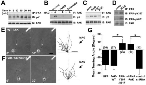 "MAG-induced tyrosine phosphorylation of FAK is required for growth cone repulsion to MAG. A-C. MAG induces phosphorylation of FAK. Shown in (A) is the time course of FAK phosphorylation after MAG stimulation (2 μg/ml) of rat hippocampal neurons. Cell lysates were immunoprecipitated with anti-FAK antibodies and immunoblotted with the pY-20 antibody for phosphorylated tyrosine residues. Shown in (B) are experiments in the presence or absence of Ha2/5 (1.0 μg/ml) or echistatin (100 nM). Shown in (C) are experiments with the treatment of WT-MAG (RGD) or mutant MAG (KGE). D. MAG induces phosphorylation of FAK on residues Y397 and Y861. Cell lysates of hippocampal neurons after MAG stimulation were immunoprecipitated with anti-FAK antibodies and immunoblotted with tyrosine phosphorylation site-specific antibodies to FAK. E-G, Phosphorylation of FAK on residues Y397 and Y861 is required for MAG-induced growth cone repulsion. Hippocampal neurons were transfected with expression constructs for GFP, WT-FAK-GFP (E), FAK-Y397/861F-GFP (F), GFP and control shRNA, GFP and shRNAs against FAK. Growth cones of GFP+ neurons were examined in a gradient of MAG (150 μg/ml in the pipette). Sample images and traces were shown similarly as in Fig. 2 (A-C). Scale bar: 20 μm for microscopic images and 5 μm for traces. Shown in (G) is the summary of growth cone turning angles. Values represent mean ± s.e.m. Numbers associated with the bar graph indicate the number of growth cones analyzed. ""*"" indicates significant difference from the control (neurons transfected to express GFP alone; p < 0.01, ANOVA)."