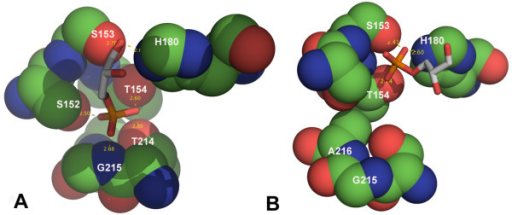 Comparison of the D-G3H binding sites in CpGAPDH, A and D subunit. A: Subunit A of CpGAPDH. Stick models are shown in white and red for subunit A; residues that bind to the C-3 phosphate and the active site residues (S153 and H180) are shown as sphere. The C3-phosphate occupies the 'new Pi site' in A, B and C subunits. B: Orientation of D-G3H molecule in subunit D of CpGAPDH (white and red stick) is different. There is no interaction between the phosphate oxygens and the phosphate binding loop.