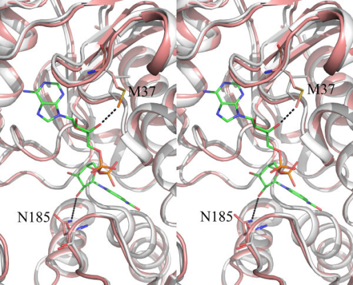 Stereo view of the NAD binding site. Cartoon representation of CpGAPDH (holo, subunit A) in wheat color superimposed on the O subunit of human GAPDH holoenzyme structure (PDBID: 1ZNQ) shown in white. CpGAPDH residues M37 and N185 are shown in stick (color coding C: orrange, N:blue, O: red and S: yellow) along with corresponding human GAPDH residues I38 and T184(C: white, N: blue and O: red). NAD molecule is also shown in stick (C: rose, N: blue and O: red). NAD atoms nearest to M37 and N185 are connected with dotted lines.
