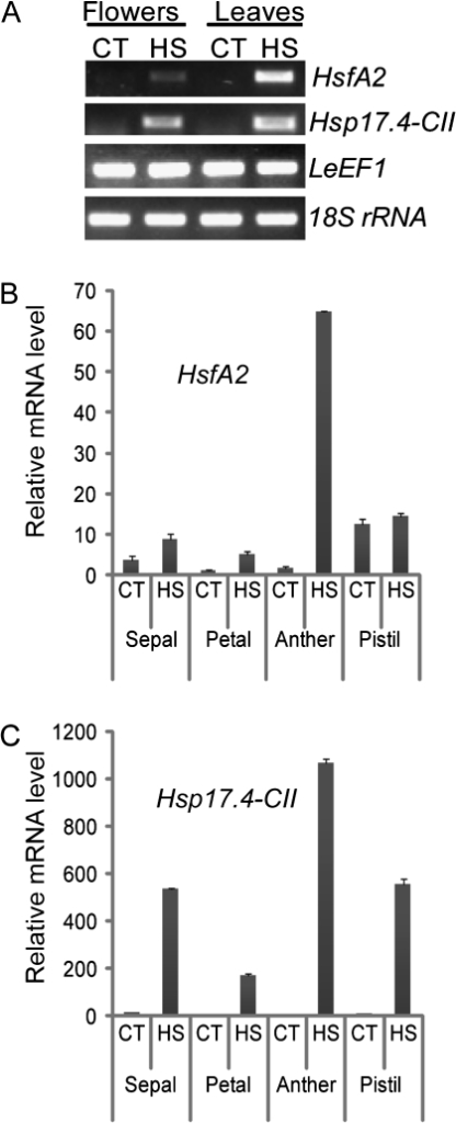 Transcriptional changes of HsfA2 and Hsp 17.4-CII in tomato tissues under HS. Total flower tissues at anthesis and leaf tissues were harvested from cv Saladette treated with daily repeated cycles of mild HS and recovery for 3 weeks (HS: 36 °C / 26 °C, day/night) or maintained under control conditions (CT: 26 °C / 19 °C day/night). From these same treated and untreated plants, flowers harvested at anthesis were dissected into sepal, petal, anther, and pistil. (A) Semi-quantitative PCR shows increased mRNA levels of HsfA2 and Hsp17.4-CII in tomato flowers and leaves under prolonged HS conditions. (B) Relative transcript levels of HsfA2 were measured by qRT-PCR using LeEF1 and 18S rRNA as housekeeping genes to normalize the data. The highest induction of HsfA2 was identified in the anther tissues treated at high temperatures. (C) A similar transcript profile to that of (B) was also observed for Hsp17.4-CII, which was strongly induced in the male reproductive organs under HS.