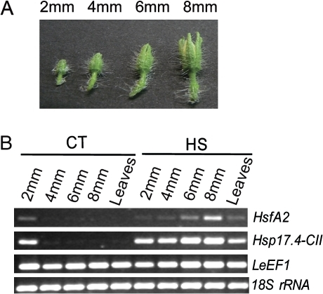Expression analyses of HsfA2 and Hsp17.4-CII during anther development under CT and HS conditions. (A) Tomato flower buds were harvested from cv Saladette and used to obtain different sized anthers (2, 4, 6, and 8 mm). (B) mRNAs of HsfA2 and Hsp17.4-CII, from anthers at different stages and leaves treated with HS (2 h at 36 °C) or kept at CT conditions (26 °C / 19 °C, day/night) were analysed by semi-quantitative PCR. LeEF1 and 18S rRNA transcript levels were monitored as controls. (This figure is available in colour at JXB online.)