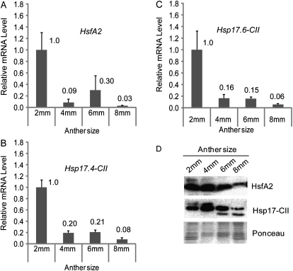 Expression analyses of HsfA2 and Hsp17-CII during anther development. (A–C) Relative mRNA levels of HsfA2 (A), Hsp17.4-CII (B), and Hsp17.6-CII (C) in different sized anthers under CT conditions (26 °C / 19 °C, day/night). Expression data were normalized using LeEF1 and 18S rRNA as housekeeping genes. The mRNA levels of the target genes in 4, 6, and 8 mm anthers are relative to that from 2 mm anthers (value 1). The experiment shown here is one of two biological replicates, which showed a comparable expression pattern. Each graph represents the data of two technical repeats. (D) Immunoblotting analyses of the proteins isolated from the same samples as in A, B, and C using specific antisera against HsfA2 and Hsp17-CII. Ponceau staining of total protein was used as control for equal loading.