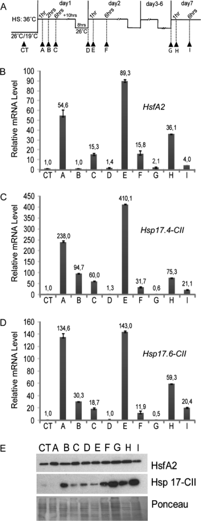 Expression analyses of HsfA2 and Hsp17-CII in 2 mm anthers after HS treatments. (A) The pictogram shows the time course of HS treatments. Arrows indicate the time points when the 2 mm anthers were harvested (CT-I). (B–D) qRT-PCR of HsfA2 (B), Hsp17.4-CII (C), and Hsp17.6-CII (D). Expression data were normalized using LeEF1 and 18S rRNA as housekeeping genes. The mRNA levels of the target genes are relative to that of the sample CT (value 1). (E) Immunoblotting analyses showing protein levels of HsfA2 and Hsp17-CII in anthers at the same stages as in B, C, and D. Ponceau staining of total protein was used as control for equal loading.