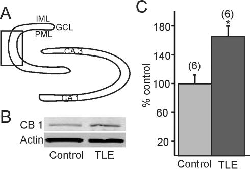 Western blot detection of cannabinoid type 1 receptor (CB1R) expression.A. Diagram of dentate gyrus illustrating the area that was micro-dissected (box) for analysis. B. Western blot showing CB1R expression in pilocarpine-treated mice that survived SE and developed TLE compared to untreated mice. Actin was used as the loading control, which did not change significantly. C. Graph showing cumulative (60%) increase in CB1R expression in mice with TLE versus controls (n = 6; p<0.05). * indicates significance. IML, inner molecular layer; GCL, granule cell layer; PML, polymorphic layer.