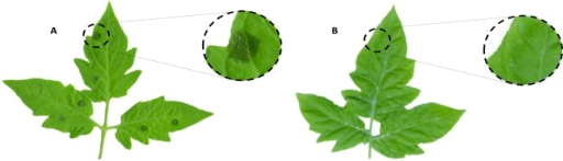 Effect of algae extracts on tomato leaves following infection with Botrytis cinerea. Tomato leaves were used for evaluating the protecting properties of Chilean algae extracts. Control leaves without previous treatment were infected with fungal conidial suspension. Another set of tomato leaves were treated with different concentrations of either aqueous or ethanolic extracts before pathogen challenge as described in Experimental Section. The picture represents an average example of (A) control leaves and (B) leaves treated with commercial fungicide Captan before to B. cinerea infection.