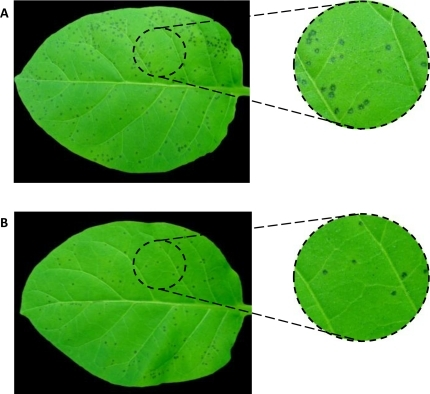 Effect of algae extracts on the infection symptoms in tobacco leaves caused by tobacco mosaic virus (TMV). In vivo assays using tobacco leaves were performed to determine the influence of macroalgae extracts on tobacco leaves challenged with TMV. Therefore, (A) non-treated tobacco leaves or (B) treated ones with solutions containing different amounts of D. antarctica extracts were subsequently infected with TMV. Damage symptoms were evaluated as described in Experimental Section.
