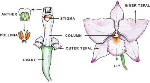 Schematic diagram of an orchid flower. | Open-i
