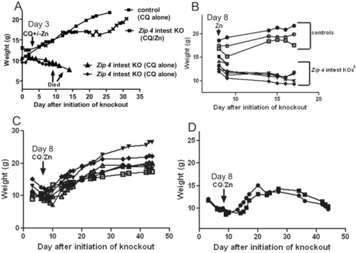 Dietary CQ with excess zinc in the drinking water (CQ/Zn) can rescue Zip4intest KO mice from the lethal effects of extreme zinc deficiency.Mice homozygous for the floxed Zip4 gene and positive for the vil-CreERT2 gene (Zip4 intest KO) and littermates homozygous for the floxed Zip4 gene but negative for the vil-CreERT2 gene (control) were injected for 3 consecutive days with tamoxifen beginning 2 to 3 weeks after weaning and their body weights were monitored thereafter. These mice were fed normal chow and provided access to deionized water after weaning and then fed chow containing CQ and/or provided water containing excess zinc beginning on the indicated days. (A) Mice were fed chow containing CQ (CQ) or CQ chow plus water containing excess zinc (CQ/Zn) beginning 3 days after initiation of the intestine knockout. Only representative mice are shown for the sake of clarity in the figure. (B) On d8 after initiation of the intestine knockout mice were provided with water containing excess zinc. (C) On d8 after initiation of the intestine knockout these mice were fed chow containing CQ and provided access to drinking water containing excess zinc. Among these mice 6/8 thrived while (D) 2 did not thrive and one appeared to be blind in one eye.