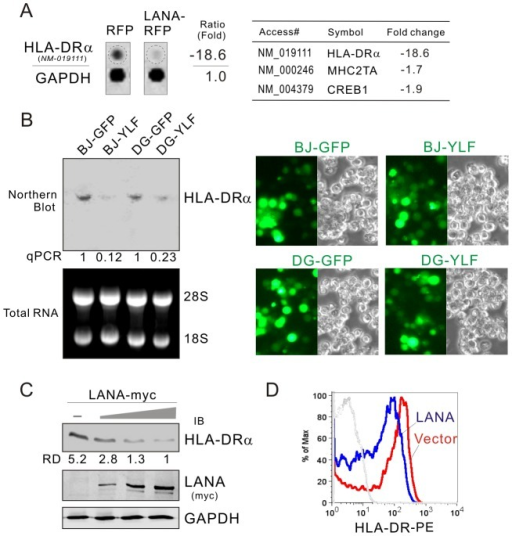 HLA-DRα is down-regulated in LANA-expressing B lymphoma cells.(A) The mRNA level of HLA-DRα was reduced in LANA-expressing BJAB cells. The total RNA of BJAB cells with LANA-RFP or vector RFP stable expression were subjected to microarray assay. Representative data and average ratio of HLA-DRα, CIITA and CREB from LANA-RFP and RFP microarray assay are shown. (B) Northern analysis of HLA-DRα transcript. The total RNA of BJAB and DG75 cells individually transduced with lentiviruses carrying LANA (YLF) or vector (GFP) alone was subjected to northern blot as described in material and method. The relative density of HLA-DRα transcript is verified by quantitative PCR. The efficiency of lentivirus transduction is shown at the right panels. (C) LANA inhibits the expression of HLA-DRα. Ten million of DG75 cells were electroporated with pA3M-LANA (5, 10, 15 µg) or Vector pA3M. At 48-hr post-transfection, the cell lysate were separated by SDS-PAGE and analyzed by Western blot using antibodies HLA-DRα or myc(9E10). Detection of GAPDH was used as an internal control. (D) The surface expression of HLA-DR proteins on DG75 cells transfected with LANA-myc or vector was determined by FACS using PE-labeled mAb against HLA-DR.