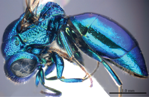 Omalus probiaccinctus sp. n., holotype, female. Habitus lateral.