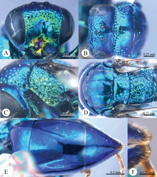 Omalus tibetanus sp. n., holotype, female. A Head anterior B Head and pronotum dorsal C Mesopleuron and metapleuron lateral D Mesoscutum, scutellum, metanotum and propodeum dorsal E Metasoma dorsal F Apex of T-III dorsal.