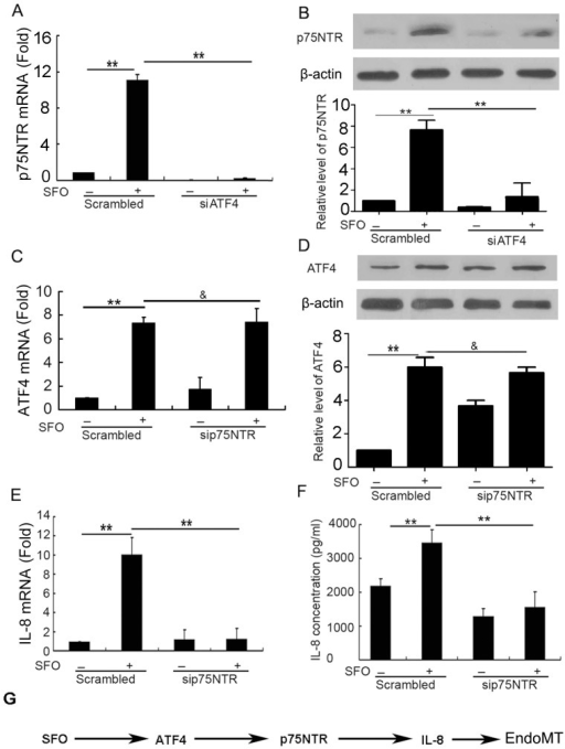 The ATF4/p75NTR/IL-8 signaling pathway was involved in the induction of EndoMT by SFO.(A and B) Cells were preincubated with ATF4 siRNA for 48 h, then 50 µg/ml SFO for 3 h for qPCR assay and 6 h for western blot assay. Effect of ATF4 siRNA on SFO-induced p75NTR expression in HUVECs was detected by qPCR assay (A) and western blot assay (B). Data below gels were used to quantify the density of the bands. (C to F) Cells were preincubated with p75NTR siRNA for 48 h, then 50 µg/ml of SFO for 3 h for qPCR assay and 6 h for western blot or ELISA assay. Effect of p75NTR siRNA on SFO-induced ATF4 expression in HUVECs was detected by qPCR assay (C) and western blot assay (D). Effect of p75NTR siRNA on SFO-induced IL-8 expression and release in HUVECs was detected by qPCR assay (E) and ELISA (F). G. A schematic of the signaling pathways of SFO in HUVEC transdifferentiation. (**p<0.01; & p>0.05, n = 3).