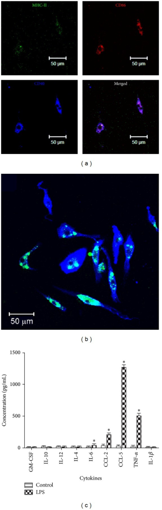 Immunofluorescent staining of retinal microglial cells. (a) Microglial cells were transferred into a 16-well chamber slide and stimulated with LPS in the absence of L929 supernatant for 24 h. After stimulation, cells were stained for activation markers, including MHC-II (FITC), CD86 (PE), and CD40 (APC). The slides were observed by confocal microscopy. (b) Microglial cells were transferred into a 16-well chamber slide, incubated with POS-FITC at the ratio of cells to POS-FITC 1 : 5 for 18 h, and stained for CD11b (APC). (c) Microglial cells (1 × 104/well) were transferred into a 96-well plate and stimulated with 1 μg/mL of LPS for 24 h. The supernatant was collected and measured for the presence of IL-1β, IL-12, IL-10, CCL2, GM-CSF, IL-6, TNF-α, and CCL5 using CBA. *P ≤ 0.05 compared with control nonstimulated cell supernatant. Mean ± SEM, n = 3.
