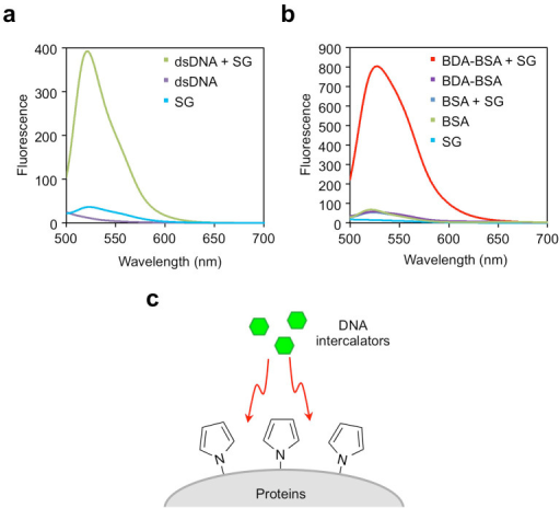 Fluorescence spectra of SG free in solution and in complex with dsDNA or BDA-modified BSA.(a) Fluorescence spectra of SG in complex with dsDNA. dsDNA (1 mg/ml) was incubated with SG (100 nM) in TAE buffer for 30 min. (b) Fluorescence spectra of SG in complex with BDA-modified BSA. BSA or BDA-modified BSA (1 mg/ml) were incubated with SG (500 nM) in TAE buffer for 30 min. (c) A schematic illustration of the binding of DNA intercalators to the pyrrolated proteins.