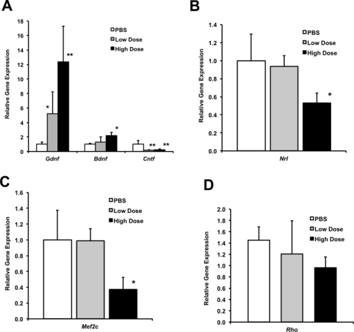 Effect of a single systemic dose of valproic acid (VPA) on neurotrophic factor gene expression and rod-specific gene expression in the immature retina of wild-type mice. A: Expression of the Gdnf, Bdnf, and Cntf genes in the neural retinas of wild-type mice (C57BL/6) was examined at two postnatal ages, P12 (n = 2/group) and P15 (n = 3/group), 18 h after one systemic VPA dose. Littermates at each age received a high dose (415 mg/kg), low dose (250 mg/kg), or PBS. The graph shows the average of these experiments (mean±standard deviation [SD]). Gene expression was normalized to endogenous Actb expression and is plotted relative to control PBS-injected littermates (t test, * p<0.01, ** p<0.001, relative to PBS). B: Retinal Nrl gene expression at two postnatal ages, P12 (n = 2/group) and P15 (n = 3/group), 18 h after a single systemic injection (IP) of VPA. Littermates within each age received a high dose (VPA 415 mg/kg), low dose (VPA 250 mg/kg), or PBS only (control). The graph shows the average of the two experiments (mean±SD; t test, *p<0.05 relative to PBS). C: Rod-specific Mef2c gene expression at age P15, 18 h after treatment with a high dose (VPA 415 mg/kg), low dose (VPA 250 mg/kg), or control (PBS) (t test, *p<0.05 relative to PBS, n = 3/group). D: Rhodopsin gene (Rho) expression in the P12 neural retina, 18 h after injection (IP) with a high or low dose of VPA compared to PBS only (mean±SD; n = 2/group).