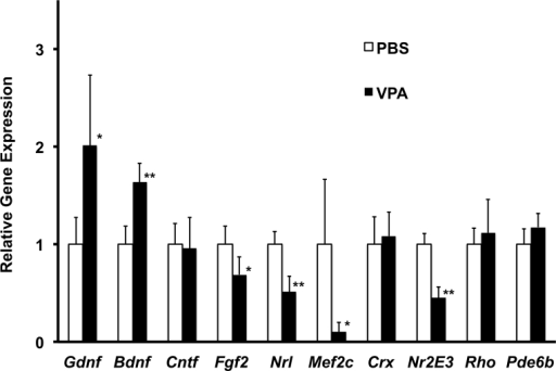 Effect of daily systemic valproic acid (VPA; P17–P28, late treatment) on neurotrophic factor and rod-specific gene expression in the wild-type mouse retina. A daily dose of VPA (350 mg/kg) was administered by intraperitoneal injection starting at age P17. Littermates received injections of PBS only. Gene expression, relative to PBS-injected littermates at age P28 was measured using real-time PCR for the gene of interest (Gdnf, Bdnf, Cntf, Fgf2, Mef2c, Nrl, Crx, Nr2E3, Rho, Pde6b) and was normalized to Actb expression (mean±standard deviation; n = 3/group, t test, *p<0.05, **p<0.01, relative to PBS).