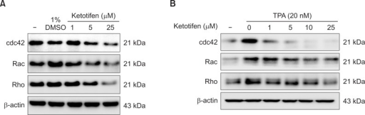 Ketotifen reduced the expression of CDC42, Rac and Rho of MDA-MB-231 and HT-1080 cells. (A) Effect of ketotifen on expression of CDC42, Rac and Rho in MDA-MB-231 cells. MDA-MB-231 cells were treated with ketotifen (1, 5, 25 μM) for 24 h. (B) Effect of ketotifen on expression of CDC42, Rac and Rho in TPA-treated HT-1080 cells. HT-1080 cells were treated with ketotifen (1, 5, 10, 25 μM) and with TPA (20 nM) for 24 h. Whole-cell lysates (10 μg) were prepared, the protein level was subjected to 10% SDS-PAGE, and the expressions of several proteins were determined by western blotting.