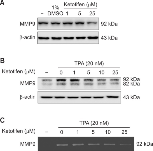 Ketotifen reduced MMP-9 expression of MDA-MB-231 and HT-1080 cells. (A) Effect of ketotifen on expression of MMP-9 in MDA-MB-231 cells. MDA-MB-231 cells were treated with ketotifen (1, 5, 25 μM) for 24 h. (B) Effect of ketotifen on expression of MMP-9 in TPA-treated HT-1080 cells. HT-1080 cells were treated with ketotifen (1, 5, 10, 25 μM) and with TPA (20 nM) for 24 h. Whole-cell lysates (10 μg) were prepared, the protein level was subjected to 10% SDS-PAGE, and the expressions of several proteins were determined by western blotting. (C) Effect of ketotifen on MMP-9 activity in HT-1080 cells. To test the activity of MMP-9, HT-1080 cells were treated with ketotifen (1, 5, 10, 25 μM) and with TPA (20 nM) for 24 h. Conditioned media were collected, and gelatin zymography was performed as described in Materials and Methods.