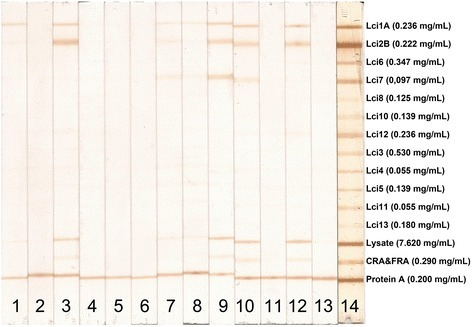 MAPIA with recombinantLeishmania infantumantigens. Images of strips containing printed individual antigens. Strips were incubated with serum samples from L. infantum-positive dogs (lanes 1, 3–13), serum from a normal control (uninfected) dog (lane 2), and the positive standard control serum pool (lane 14). The optimum concentration of each antigen wereLci1 = 0.236 mg/mL, Lci2 = 0.222 mg/mL, Lci3 = 0.530 mg/mL, Lci4 = 0.055 mg/mL, Lci5 = 0.139 mg/mL, Lci6 = 0.347 mg/mL, Lci7 = 0.097 mg/mL, Lci8 = 0.125 mg/mL, Lci10 = 0.139 mg/mL, Lci11 = 0.055 mg/mL, Lci12 = 0.236 mg/mL, Lci13 = 0.180 mg/mL, L. major lysate = 0.7620 mg/mL, recombinant CRA&FRA T. cruzi proteins = 0.290 mg/mL and protein A solution = 0.200 mg/mL. Antibody reactivity was detected as described in Methods. The test bands were visually read by two independent operators. Any visible band in the test area (in addition to the control line) was considered a positive reaction.