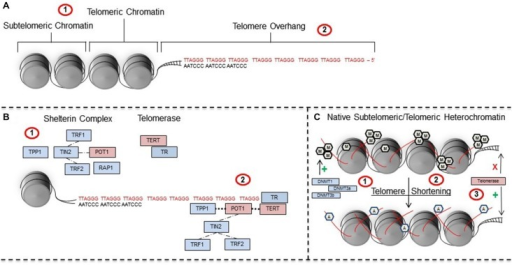 Telomeres are regulated by telomeric-specific proteins and are subject to epigenetic regulation. (A) Telomeres are TTAGGG nucleotide repeats that (A1) contain a subtelomeric region and telomeric region that surrounds chromatin, in addition to (A2) a 50–300 bp overhang on the 3' strand of DNA. (A2) Stress can induce shortening of telomeres whereas telomerase promotes elongation. (B) Telomere length is regulated by proteins within the (B1) shelterin and telomerase complexes. Shelterin proteins have a crucial role in recruiting and positioning (B2) telomerase RNA (TR) and telomerase reverse transcriptase (TERT) on the ends of telomeres during maintenance and repair. (C) In their native state, (C1) telomeres are in a hypermethylated state that is regulated and maintained by key DNA methyltransferases including DNMT1, DNA methyltransferase 3a (DNMT3a), and DNMT3b. However, (C2) telomere shortening induces a shift to a euchromatic state involving increased acetylation and decreased methylation which (C3) facilitates the recruitment of telomerase to telomere ends. Abbreviations: TTAGGG-repeat binding factor 1 (TRF1), TTAGGG-repeat binding factor 2 (TRF2), collective acronym of previous labels TINT1, PTOP, and PIP1 (TPP1), TRF-1 interacting nuclear protein/factor 2 (TIN2), (RAP1), protection of telomeres 1 (POT1), telomerase reverse transcriptase (TERT), TR, methyl group (pentagonal M), acetyl group (pentagonal A).