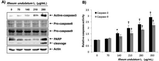 Activation of caspases and degradation of the PARP protein due to MERL treatment of AGS cells. (A) AGS cells were treated with the indicated concentrations of MERL for 24 hours. Actin was used as an internal control. (B) After a 24 hours incubation with the indicated concentrations of MERL, the cells were lysed and aliquots were assayed for the in-vitro caspase-3 and -9 activities with DEVD-pNA and LEHD-pNA as substrates, respectively. Bars represent the mean ± SD. *P < 0.05. †P < 0.01. PARP, polymerase; MERL, methanol extract of Rheum undulatum L.; AGS, adenocarcinoma gastric cell lines; DEVD, Asp-Glu-Val-Asp; p-NA, p-nitroaniline; LEHD, Leu-Glu-His-Asp; S.D., standard deviation.