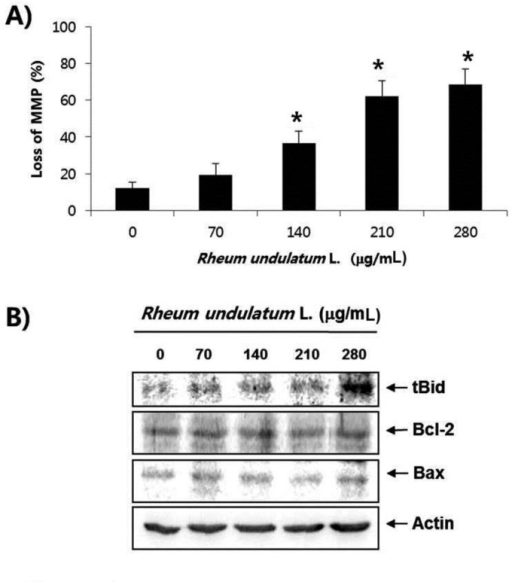 Effects of MERL on the MMP values and the levels of tBid, Bcl-2 and Bax proteins in AGS cells. (A) Cells were treated with the indicated concentration of MERL for 24 hours. Cells were collected and incubated with JC-1 (10 μM) for 20 minutes at 37˚C in the dark. The cells were the washed once with PBS and analyzed by a DNA flow cytometer. (B) The cell lysates obtained from cells grown under the same conditions as (A) were separated by SDS-polyacrylamide gels and transferred onto nitrocellulose membranes. The membranes were probed with the indicated antibodies. Actin was used as an internal control. Bars represent the mean ± S.D. *P < 0.01. MERL, methanol extract of Rheum undulatum L.; MMP, mitochondrial membrane potential; tBid, truncated Bid; Bcl-2, B-cell lymphoma 2; Bax, Bcl2 Antagonist X; AGS, adenocarcinoma gastric cell lines; JC-1, 5,5′, 6,6′-tetrachloro-1,1′,3,3′-tetraethyl-imidacarbocyanine iodide; PBS, phosphate buffered saline; SDS, sodium dodecyl sulfate; S.D., standard deviation.