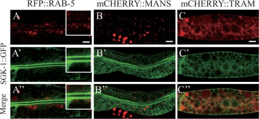 "SGK-1::GFP did not colocalize with RFP::RAB-5, mCHERRY::MANS or mCHERRY::TRAM.Confocal images of the intestine in transgenic worms expressing SGK-1::GFP together with RFP::RAB-5 (A-A""), mCHERRY::MANS (B-B"") or mCHERRY::TRAM (C-C""). Insets show magnified areas (× 2). Scale bars: 5 μm."