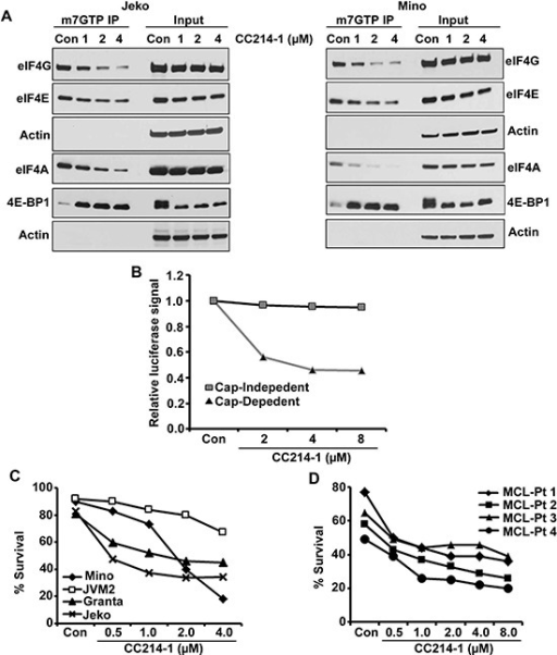 Effect of the dual mTOR kinase inhibitor CC214-1 on eIF4F complex(A) Effect of CC214-1 on eIF4F complex integrity by in vitro cap affinity assay in Jeko and Mino cells. (B) Cap dependent and independent translation was assessed by luciferase reporter assay by the use of bicistronic plasmid in the presence of CC214-1. Bars represent mean ± SD from 3 replicates. (C) Survival was evaluated in Mino, JVM2, Granta and Jeko cells treated with CC214-1. (D) Effect of CC214-1 on survival inhibition in malignant cells from fresh MCL patient was evaluated using annexin V/PI staining and flow cytometry.