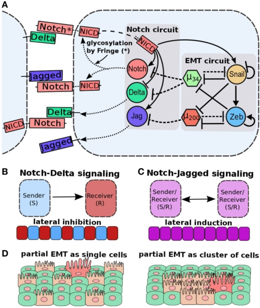 "Cell–cell communication and partial EMT. (A) Coupling of EMT circuit with Notch circuit. Notch pathway, when activated by Jagged or Delta, belonging to neighboring cell, can activate Jagged and Notch, but inhibit Delta. EMT circuit couples with Notch circuit in many ways – miR-200 inhibits Jagged1, miR-34 inhibits both Notch and Delta, and NICD can activate SNAIL to drive EMT. (B) Notch-Delta signaling between two cells induces opposite fates in them – one cell behaves as a Sender (high Delta, low Notch) and the other a Receiver (high Notch, low Delta). Due to this lateral inhibition, it can promote ""salt-and-pepper"" based patterns. (C) Notch-Jagged signaling between two cells induces similar fates in them – lateral induction – and thus leads to patterns with all cells with the same fate. (D) (Left) cells in a partial EMT and interacting via N-D signaling might not be spatially close to each other, because N-D signaling inhibits two neighbors to adopt the same fate. (right) Cells in a partial EMT and interacting via N-J signaling can mutually stabilize the E/M phenotype and stay together as a cluster. Figure adapted from Ref. (173)."