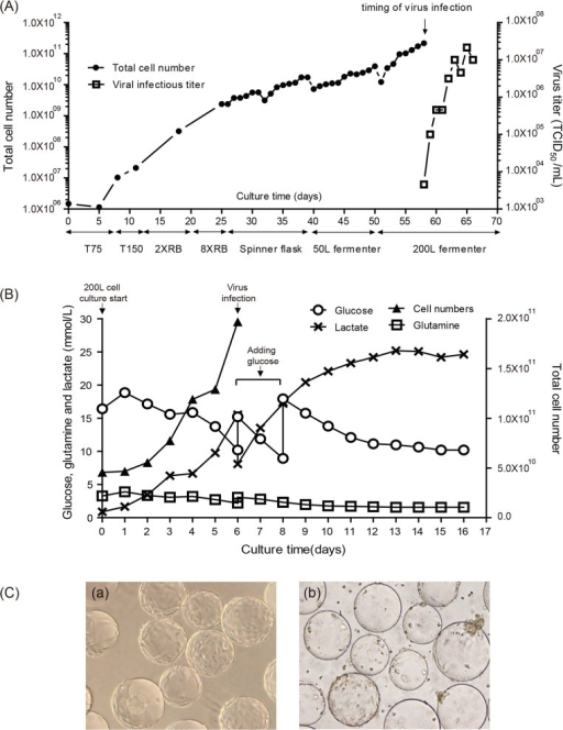 Scale-up of Vero cell culture and EV71(E59-B4) virus production in a 200-L bioreactor.(A) Profile of Vero cell growth and EV71 amplification during a 200-L bioreactor process. (B) Metabolism profile by monitoring the contents of glucose, glutamine and lactate in a 200-L cell/EV71 virus culture. (C) Photomicrographs of Vero cells on microcarriers taken from the 200-L bioreactor immediately before infection with EV71 virus (a) and before harvest (b).