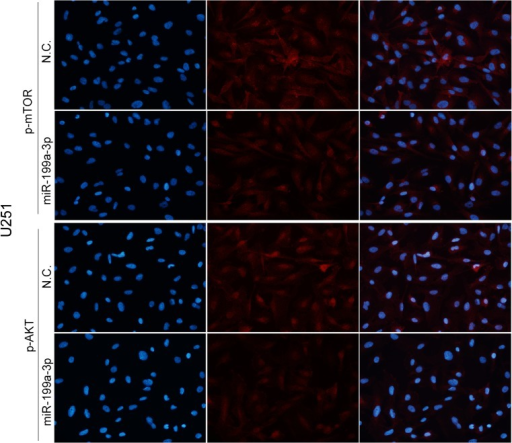 Immunofluorescence analysis showed that the expression of mTOR and p-AKT (asterisk, P < 0.05) was apparently inhibited in cells by the up-regulation of miR-199a-3p in U251