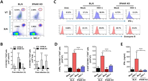 IFN-I signaling is involved in connected recruitment and activation of NK cells to CD11b+Ly-6Chi monocytes.(A) NK cell infiltration of infected BL/6 or IFNAR KO mice. (B) Total accumulated NK cell number. Cells were prepared from vaginal tract (VT) and iliac LN (ILN) by collagenase digestion at 24, 48, and 72 h pi and used for analysis of NK cells. Values in dot-plots denote the average percentages of NK1.1+DX5+ NK cells derived from four independent samples after gating on CD3-negative cells at 48 h pi. (C) Frequency of IFN-γ or granzyme B-producing cells among NK cells. The production of IFN-γ and granzyme B by CD3−NK1.1+DX5+ NK cells was determined by intracellular staining after stimulation of vaginal NK cells with PMA plus ionomycin at 48 h pi. Values in histograms represent the average percentages of IFN-γ or granzyme B-producing cells among CD3−NK1.1+DX5+ NK cells. (D) Absolute number of IFN-γ or granzyme B-producing NK cells. Total number of IFN-γ or granzyme B-producing CD3−NK1.1+DX5+ NK cells in vaginal tract was enumerated by flow cytometric analysis using intracellular and surface staining at 48 h pi. (E) Secreted IFN-γ levels in vaginal tract. Secreted IFN-γ levels were determined by ELISA at 48 h pi using vaginal lavages. Data in bar chart represent the average ± SD of values derived from three individual experiments (n = 4–5). **, p<0.01; ***, p<0.001 compared with the levels of IFNAR KO mice.