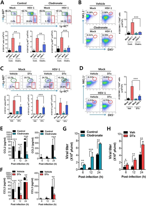 Resident CD11bhiF4/80hi macrophages and CD11chi DCs play a key role in initiating migration-based self-amplification of CD11b+Ly-6Chi monocytes through very early production of CCL2 protein.(A) Crucial role of resident CD11bhiF4/80hi macrophages in inducing early recruitment of CD11b+Ly-6Chi monocytes. BL/6 mice were treated with clodronate liposomes to deplete CD11b+ macrophages and infected i.vag. with HSV-1. The infiltration of CD11b+Ly-6Chi monocytes was determined by flow cytometric analysis at 24 h pi. (B) Regulation of NK cell infiltration by CD11b+F4/80+ macrophages. CD3−NK1.1+DX5+ NK cells in vaginal tract were analyzed in clodronate-treated mice at 48 h pi. (C) Regulation of initial CD11b+Ly-6Chi monocyte infiltration by CD11chi DCs. CD11c-DTR Tg mice were treated with DT to deplete CD11chi DCs and infected i.vag. with HSV-1. The infiltration of CD11b+Ly-6Chi monocytes was determined by flow cytometric analysis at 24 h pi. (D) Regulation of NK cell infiltration by CD11chi DCs. CD3−NK1.1+DX5+ NK cells in the vaginal tract were analyzed in DT-treated CD11c-DTR mice at 48 h pi. (E,F) Resident CD11bhiF4/80hi macrophages and CD11chi DCs provide very early CCL2 production. The levels of CCL2 and CCL3 proteins in vaginal lavages were determined in clodronate- and DT-treated mice at 6, 12, and 24 h pi. (G,H) Viral replication in vaginal tract of mice depleted for CD11bhiF4/80hi macrophages and CD11chi DCs. Viral titers in vaginal tract of clodronate- and DT-treated mice were determined by plaque assay at 6, 12, and 24 h pi. Data in the bar chart represent the average ± SD of values derived from three individual experiments (n = 4–5). *, p<0.05; **, p<0.01; ***, p<0.001 compared with the level of the indicated group.