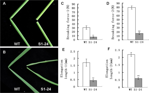 Phenotypes and physical properties of the S1-24 mutant.(A) An easily broken culm of S1-24 compared with the wild type. (B) An easily broken flag leaf of S1-24 compared with the wild type. (C, D) Force required to break the first and second upper internodes. (E, F) Elongation length of the first and second upper internodes. Values shown are the averages of values for five internodes. Bars represent standard errors. ** indicate statistical significance by a t test at P < 0.01.