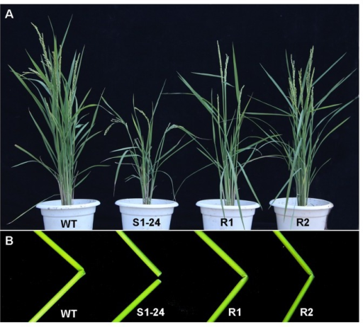 Phenotypes of genetic complementation in transgenic S1-24 mutant plants.(A) Gross morphologies of wild-type, S1-24, and R1 and R2 complementation lines at the mature stage. (B) Resistance to breakage in culms of the R1 and R2 complementation lines compared with S1-24 and wild-type culms.